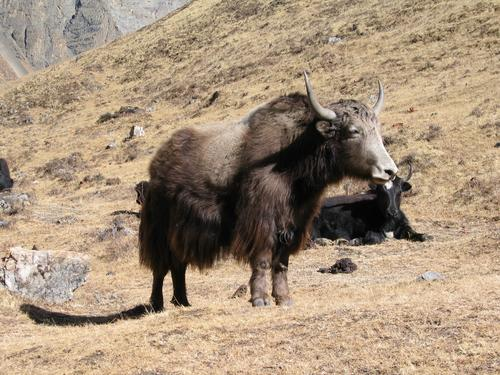 Yaks (don't turn your back on them!)