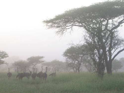 Ostriches at dawn