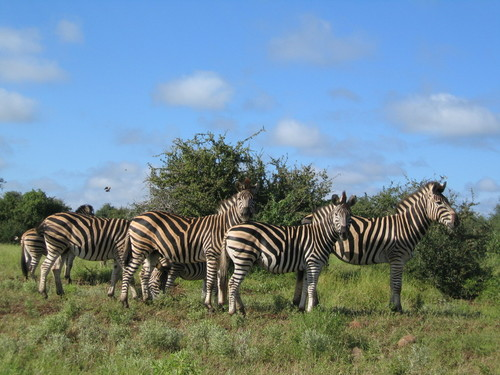Striped residents of Hluhluwe Umfolozi Park