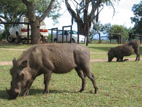 Warthog Heaven in Hluhluwe Umfolozi Park