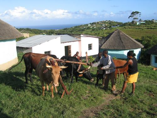 Guide Jimmy (yellow shorts) helping rope an ornery bull for hard labor