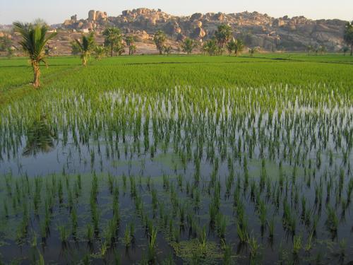 Hampi's rice paddies at sunrise