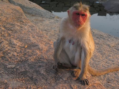 monkey at Hampi ruins
