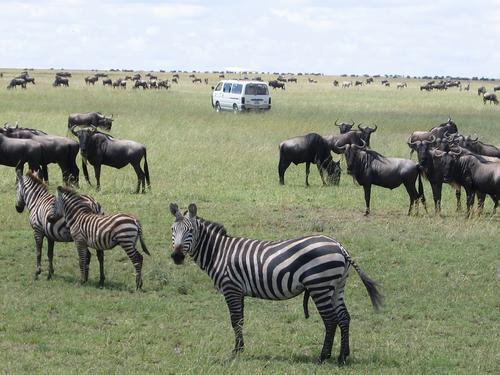 Happy zebra in the midst of the wildebeest migration, Serengeti