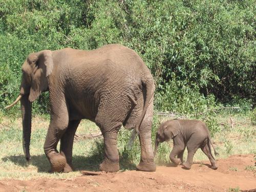 "Lake Manyara elephants (never thought we'd see a ""cute"" elephant)"